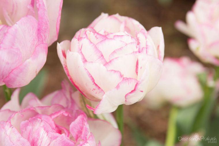pink tulips | Desiree Prakash Studio