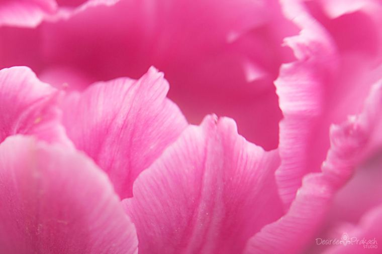 pink tulip macro | Desiree Prakash Studio