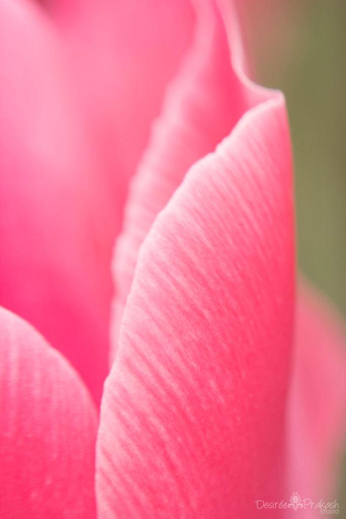 tulip macro | Desiree Prakash Studio