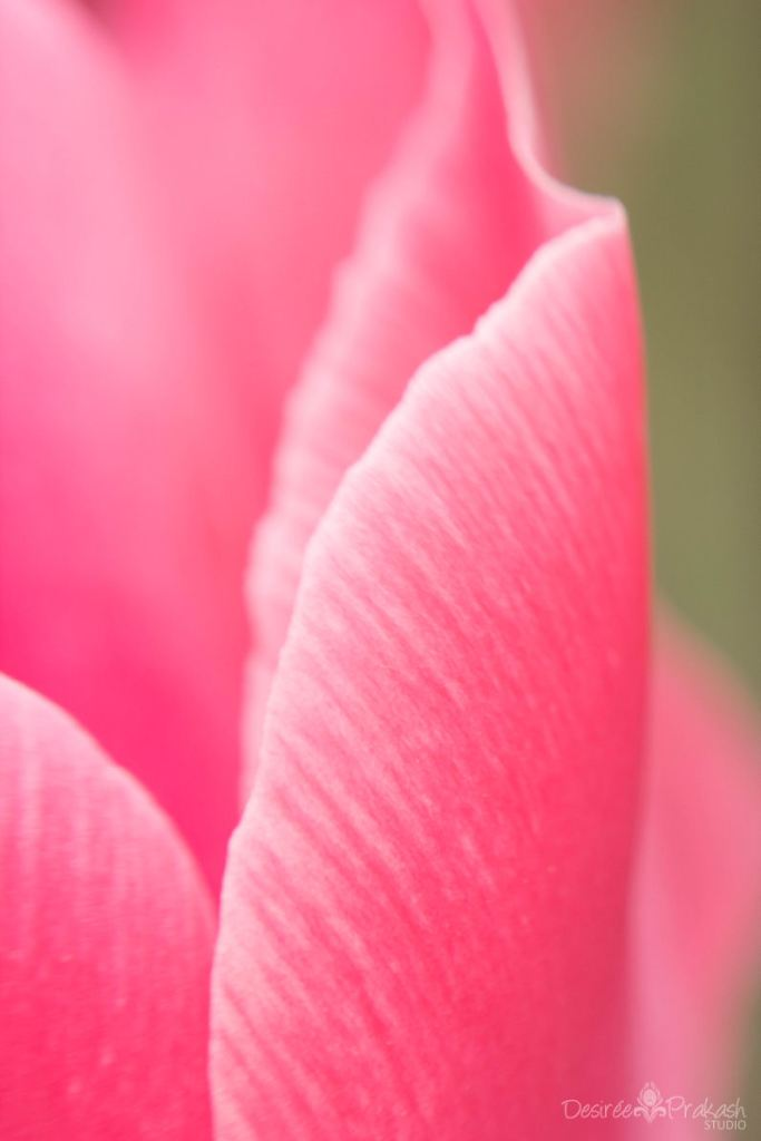 tulip macro | Desiree Prakash Studio