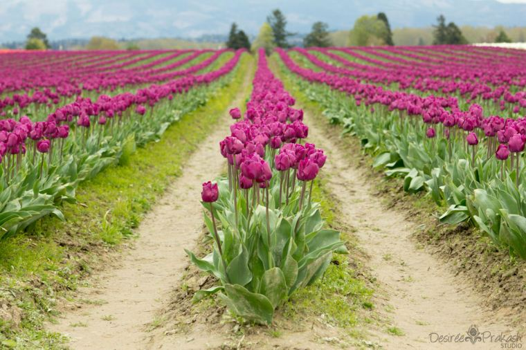 purple tulip field | Desiree Prakash Studio