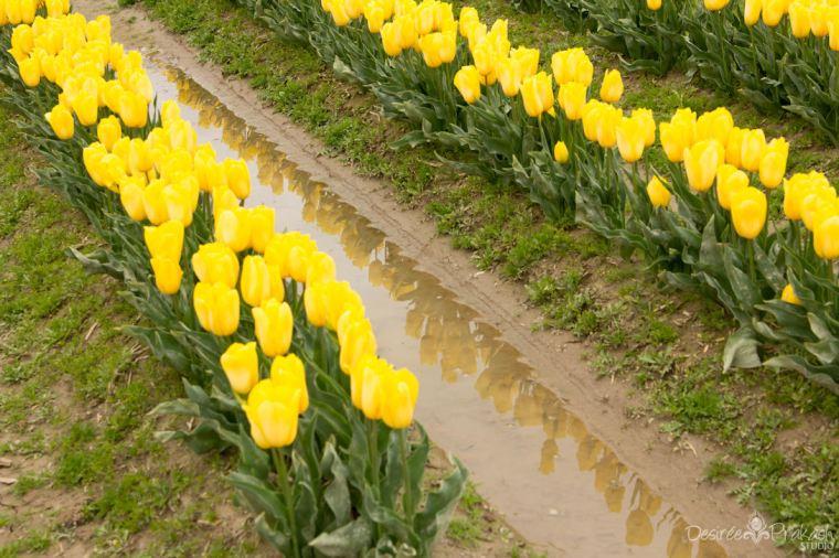yellow tulip reflection | Desiree Prakash Studio