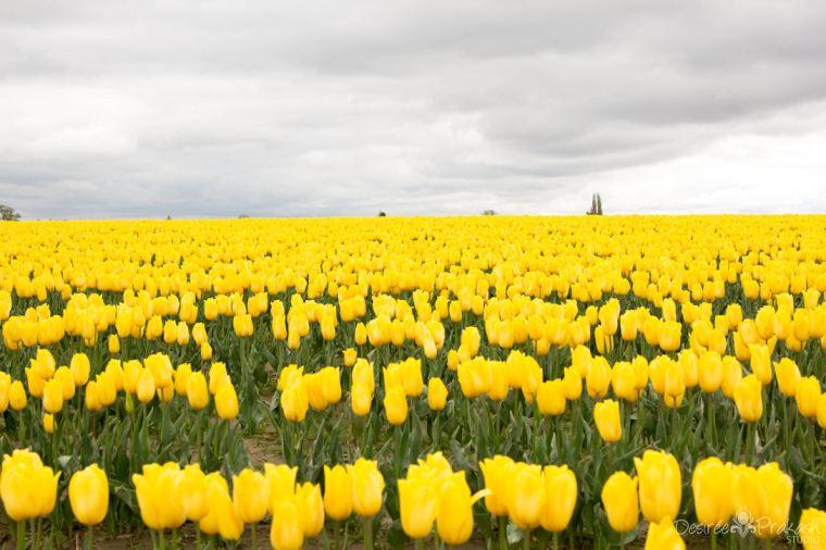 hill of yellow tuilps | Desiree Prakash Studio