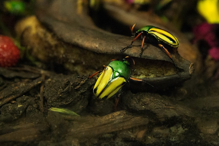 bold bugs